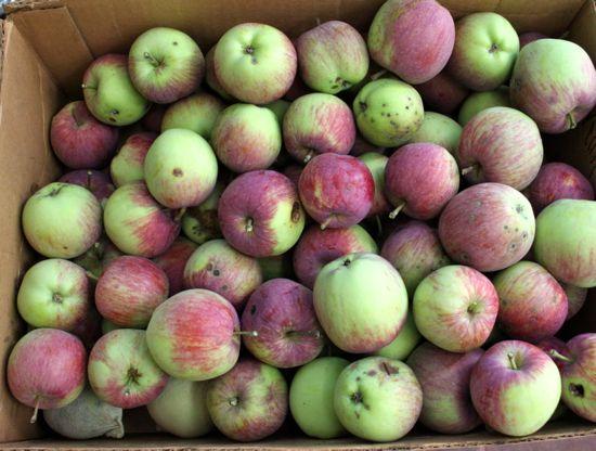 Harvest Time: Apples!