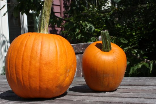 Harvest Time: Pumpkins